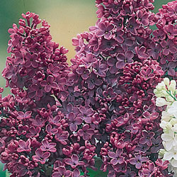 Red French Hybrid Lilac
