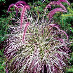 Cherry Sparkler Fountain Grass