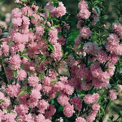Double Pink Flowering Almond Bush