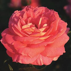 Summer Sun™ Shrub Rose