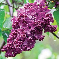 Congo French Lilac