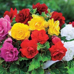 Giant Double Flowering Begonias Collection