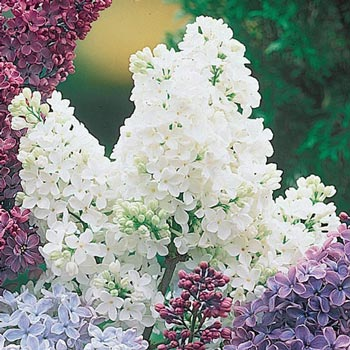 White French Hybrid Lilac