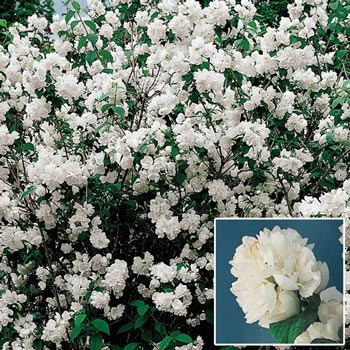 Double Mock Orange