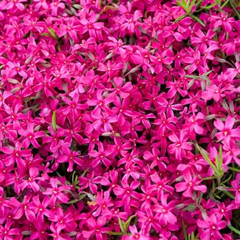 Red Carpet Phlox - Michigan Bulb
