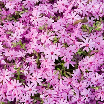 Pink Carpet Phlox