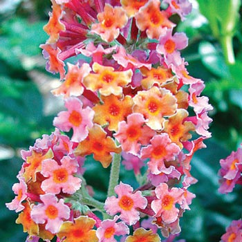 Kaleidoscope Butterfly Bush