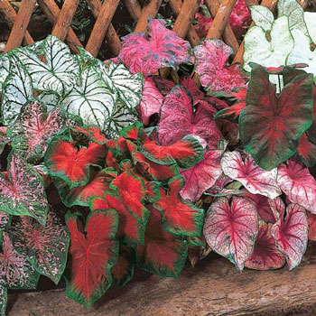 Mixed Caladiums