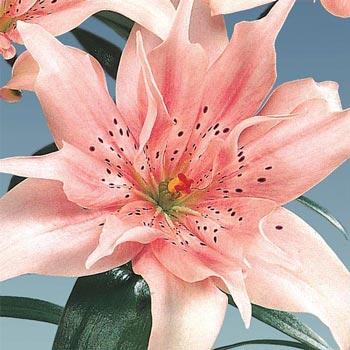 Melodie Double Asiatic Lily