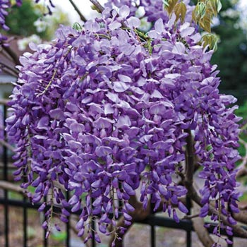 Reblooming Bone Hardy Wisteria 'Blue Moon'