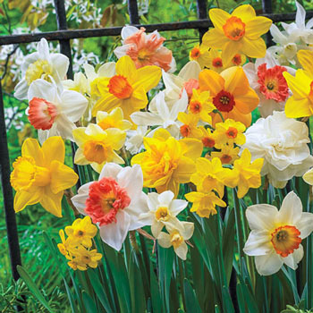 3 Months of Daffodils Mixture