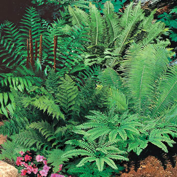 Mixed Hardy Ferns