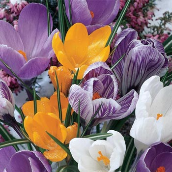 Crocus for Naturalizing Super Bag