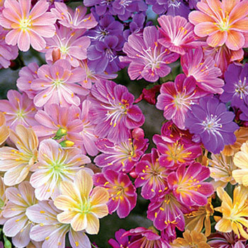 Rainbow Lewisia Mix