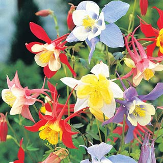 Mixed Columbines
