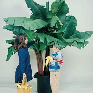 Dwarf Banana Tree