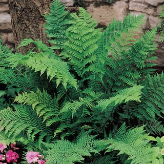 Lady Fern