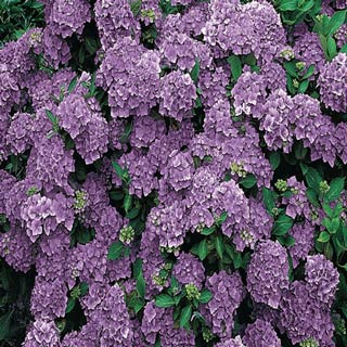 Purple Passion Hydrangea