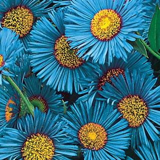 Blue Fringe Daisy