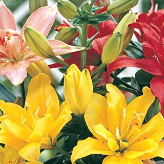 Double Flowering Lily Mix
