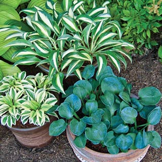 Mini Hosta Mix