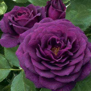 Ebb Tide</sup>&trade;</sup> Rose