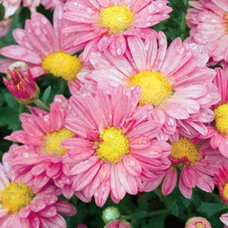 Coral Daisy Mums