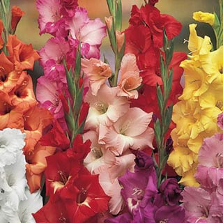 Mixed Hardy Gladiolus