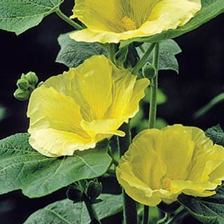 Sunshine Hollyhock