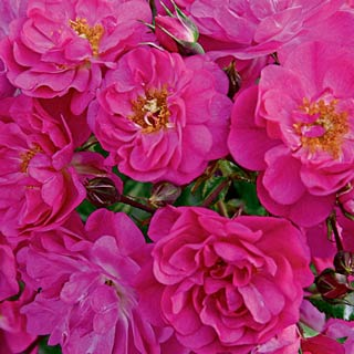 Sweet Vigorosa<sup>&trade;</sup> Ground Cover Rose