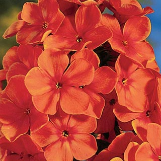 Orange Perfection Hybrid Tall Phlox