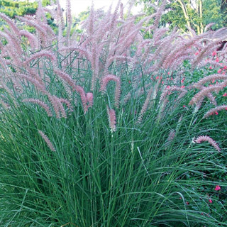 Rose fountain grass ornamental grasses at michigan bulb for Fountain grass for shade