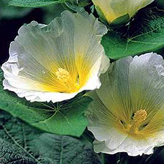 Polarstar Hollyhock